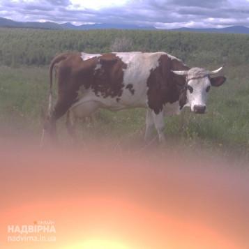 Продається добра корова