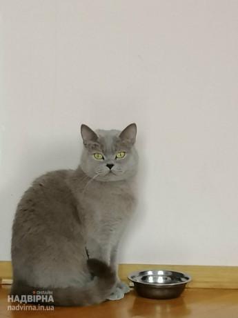 Пропала кішка британка короткошерста Соня