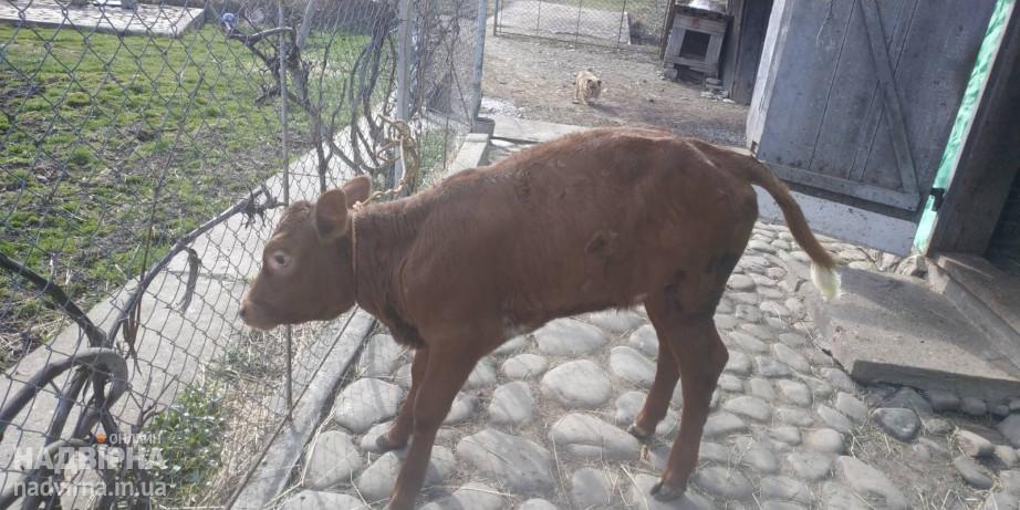 Продається теличка 2-міс. для тримання від доброї корови