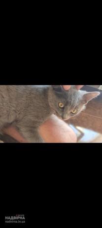 Пропав Кіт короткошерстий шотландець вік 6місяців