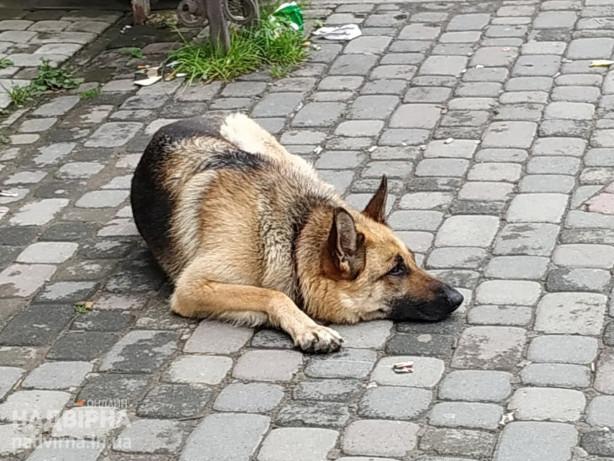 Знайшли собаку ( порода вівчарка)